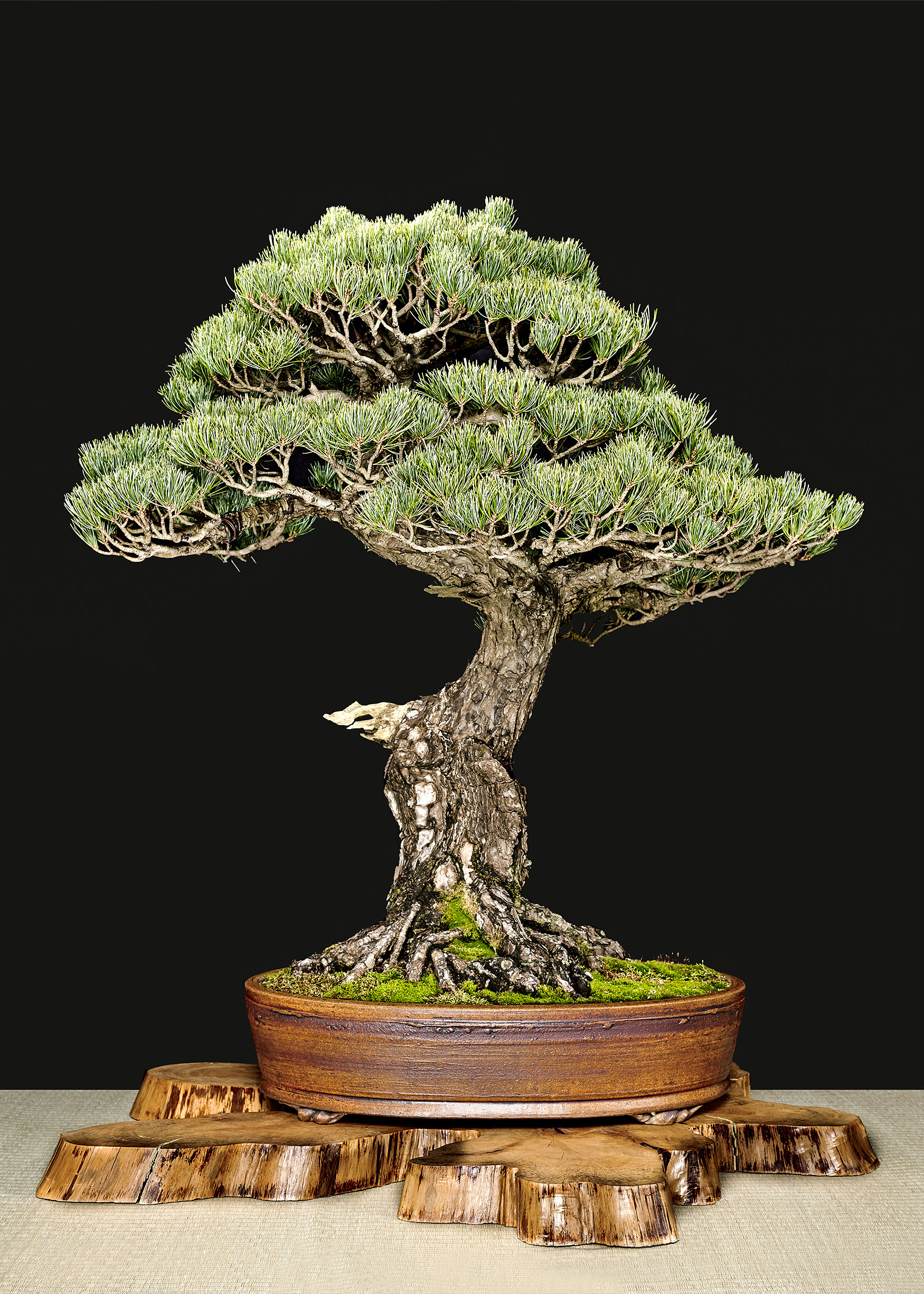 Bonsai Trees Archives - Bonsai Learning Center