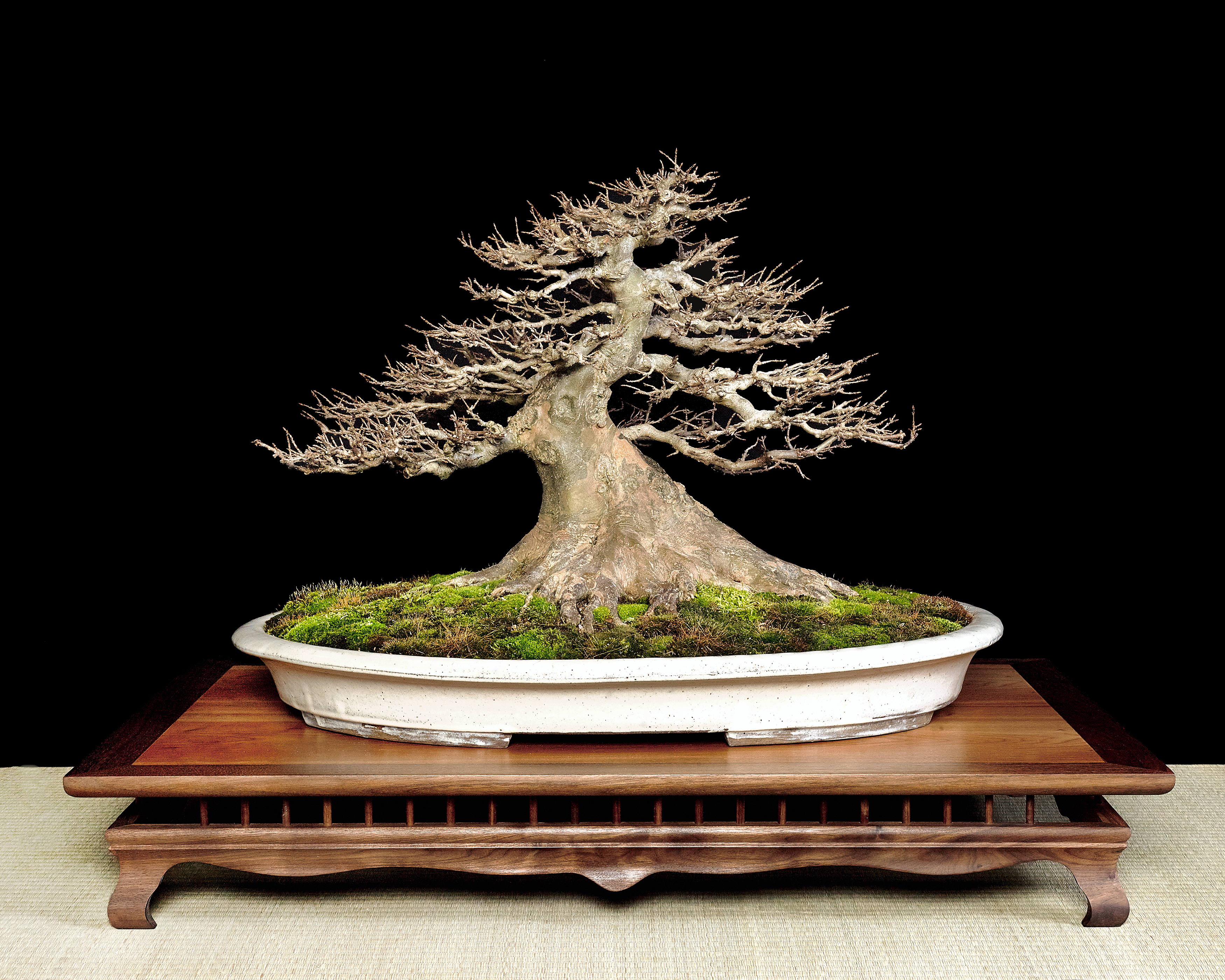 Trident Maple Acer Buergerianum Bonsai Learning Center Wiring Juniper Tree 3 A Need For Smaller Leaves Or Brilliant Fall Color In Time Of Exhibition Please Dont Do It Simply Because You Think Cool