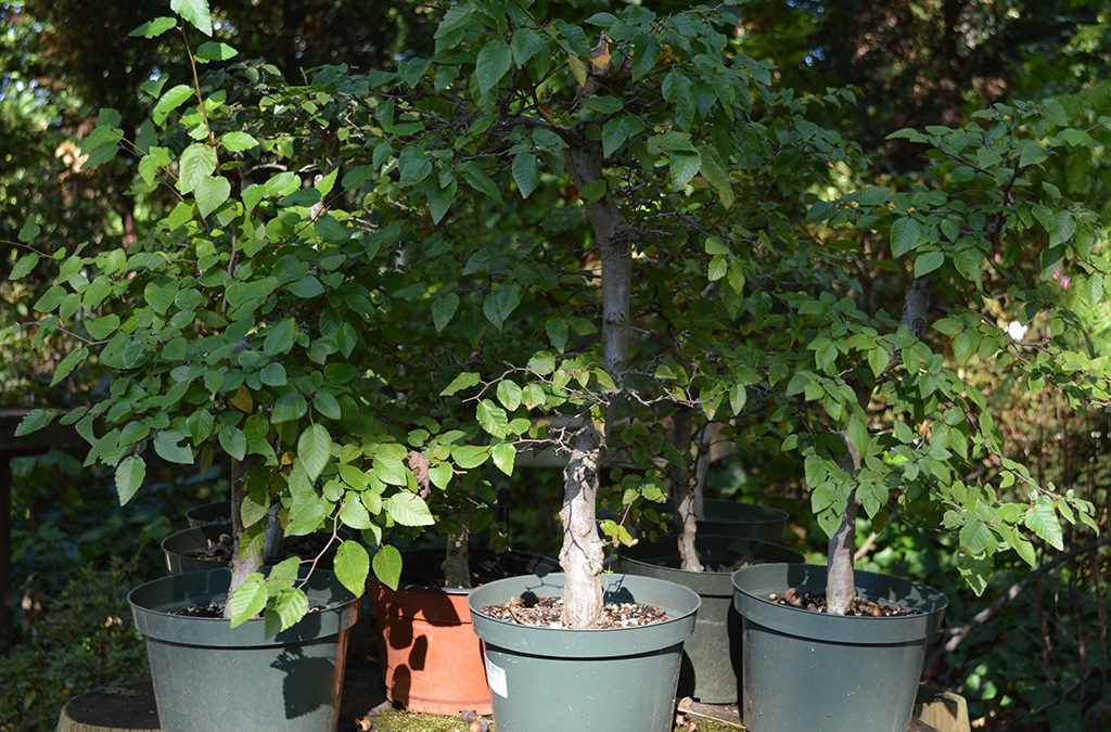 Korean Hornbeam Bonsai Forest Workshop