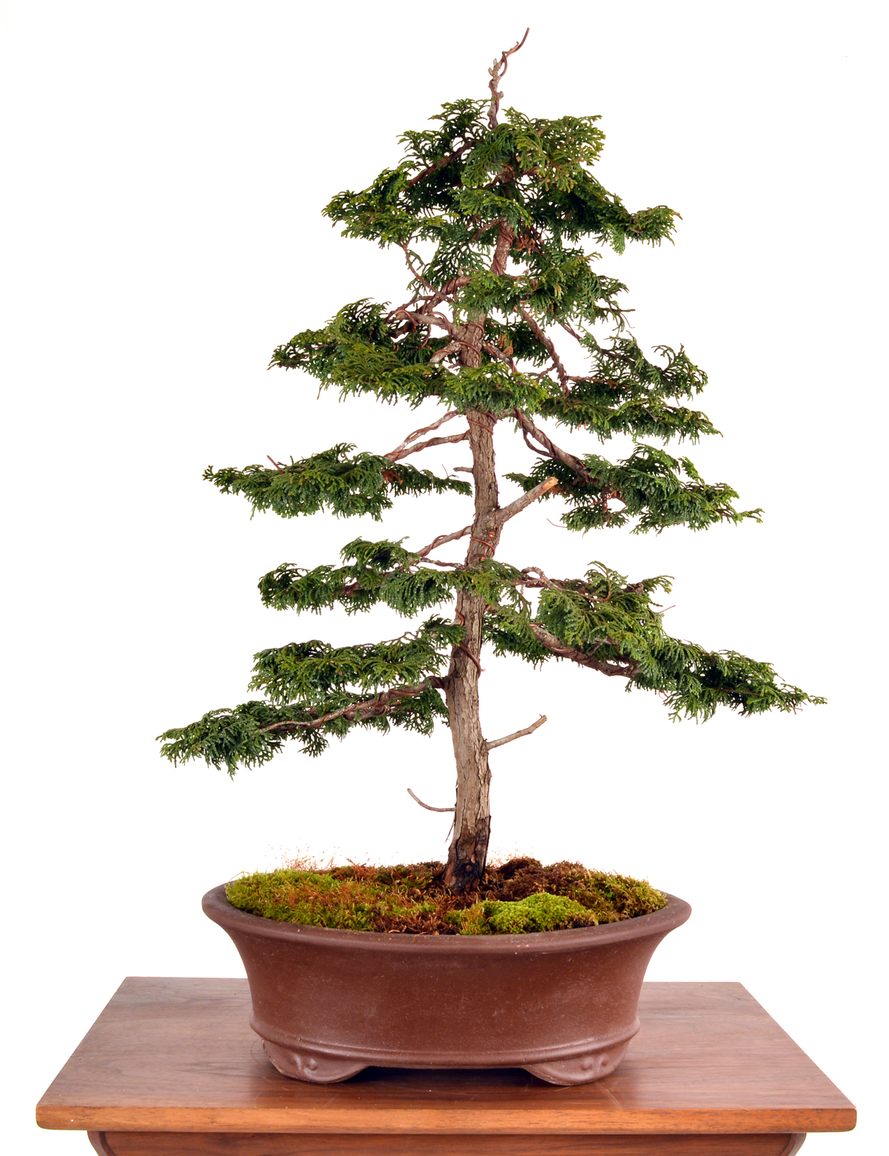 Hinoki Cypress Bonsai Workshop August 12 2018 Learning Center Wiring In Completed Style Wire Of