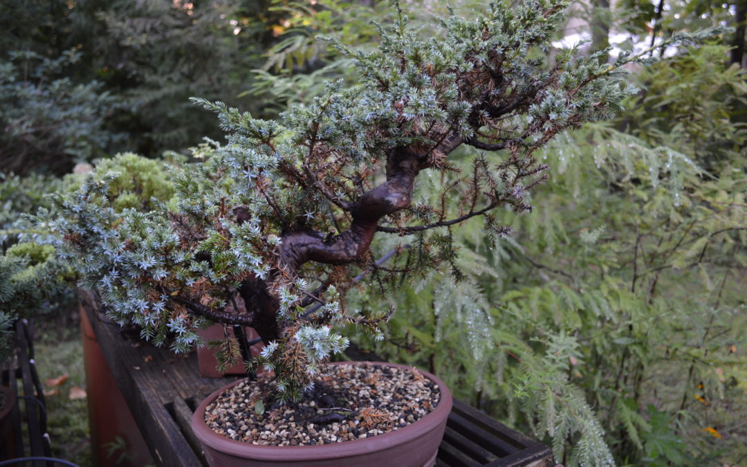Blue Alps Juniper Bonsai Workshop