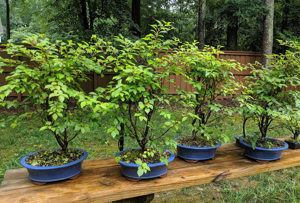 Dwarf Cherry Tree Bonsai Workshop
