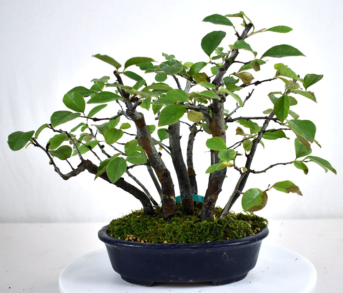 Chinese Quince Forest Imported 9 Bonsai Learning Center Store